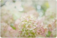 Fondo de la flor de la hortensia Imágenes de archivo libres de regalías