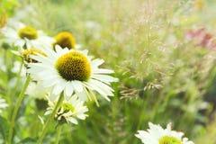 Fondo de la flor de la margarita Imágenes de archivo libres de regalías