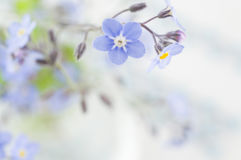 Fondo de la flor de la nomeolvides fotos de archivo libres de regalías