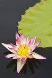 Fondo de la flor de loto Foto de archivo libre de regalías