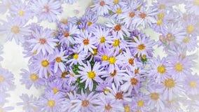 Fondo de la flor del aster Fotografía de archivo libre de regalías
