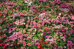 Fondo de la flor del clavel Fotografía de archivo