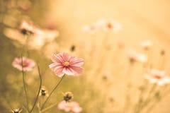 Fondo de la flor del cosmos Fotografía de archivo