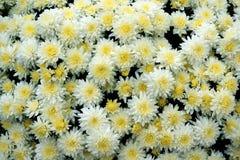 Fondo de la flor del crisantemo Imagenes de archivo