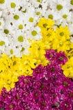 Fondo de la flor del crisantemo Imagen de archivo