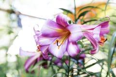 fondo de la flor del lirio Fotos de archivo