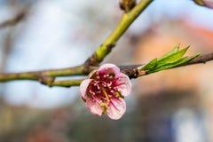 Fondo de la flor del melocotón Flores del melocotón en jardín Foto de archivo
