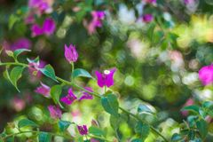Fondo de la flor del oto?o de los asteres Flores del oto?o, flor roja violeta foto de archivo