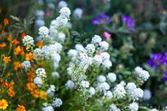 Fondo de la flor en el jardín del verano Fotos de archivo libres de regalías