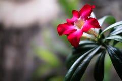 Fondo de la flor de Kemboja Imagenes de archivo