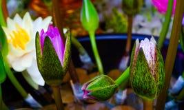 Fondo de la flor de Lotus Imagen de archivo libre de regalías