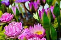 Fondo de la flor de Lotus Fotos de archivo libres de regalías