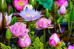 Fondo de la flor de Lotus Foto de archivo libre de regalías