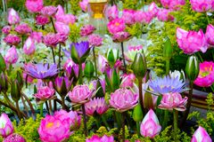 Fondo de la flor de Lotus Foto de archivo