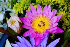 Fondo de la flor de Lotus Imagenes de archivo