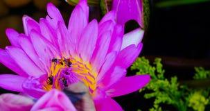 Fondo de la flor de Lotus Fotografía de archivo libre de regalías