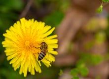 Fondo de la flor de la primavera del arte con la abeja 1 Fotos de archivo libres de regalías