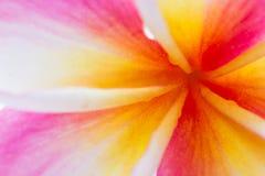 Fondo de la flor rosada y blanca del templo Foto de archivo