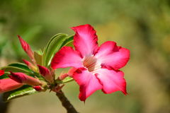 Fondo de la flor y vista hermosos del bloomi rojo brillante de la flor Imagen de archivo