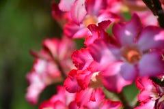 Fondo de la flor y vista hermosos del bloomi rojo brillante de la flor Fotos de archivo libres de regalías