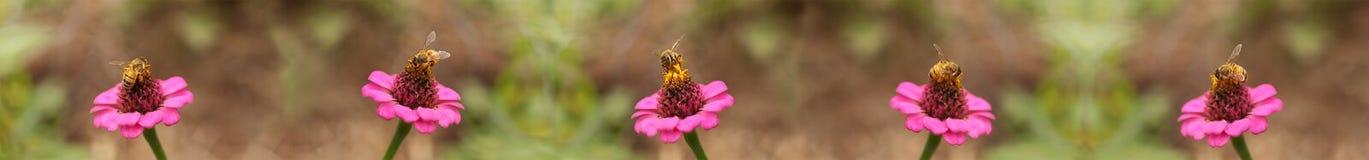 Fondo de la frontera de la abeja de trabajador de las abejas de la miel Foto de archivo
