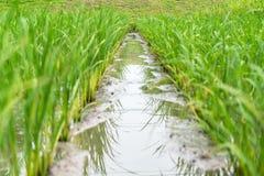 Fondo de la granja del arroz Imagen de archivo libre de regalías