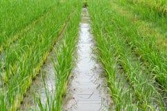 Fondo de la granja del arroz Fotos de archivo libres de regalías