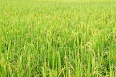 Fondo de la granja del arroz del jazmín Imágenes de archivo libres de regalías