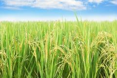 Fondo de la granja del arroz del jazmín Imagen de archivo