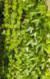 Fondo de la hiedra verde Fotos de archivo