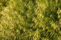 Fondo de la hierba del Brome Imagen de archivo libre de regalías