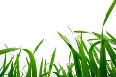Fondo de la hierba recientemente crecida, depht bajo del campo Foto de archivo libre de regalías
