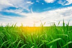 Fondo de la hierba recientemente crecida, depht bajo del campo Imagen de archivo libre de regalías