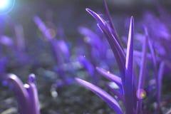 Fondo de la hierba ultravioleta foto de archivo