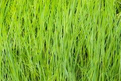 Fondo de la hierba verde Foto de archivo