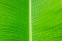 Fondo de la hoja del plátano con las líneas Imagen de archivo