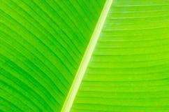 Fondo de la hoja del plátano con las líneas foto de archivo libre de regalías