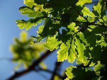 Fondo de la hoja verde y del cielo azul Imagenes de archivo