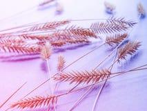fondo de la lila con la espiga, decoración natural Fotografía de archivo libre de regalías
