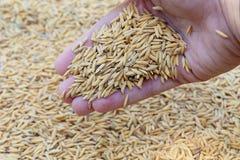 Fondo de la mano del arroz Imagen de archivo