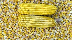 Fondo de la mazorca de maíz Imagenes de archivo