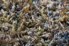 Fondo de la naturaleza con el musgo secado Imagen de archivo libre de regalías