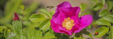 Fondo de la naturaleza con la flor de la perro-rosa Foto de archivo