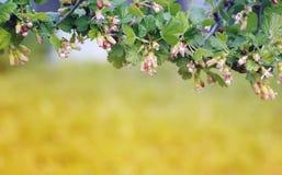 Fondo de la naturaleza con la rama floreciente de grosellas espinosas en la primavera Foto de archivo libre de regalías
