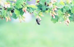 Fondo de la naturaleza con la rama floreciente de grosellas espinosas en la primavera Imagenes de archivo