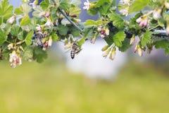 Fondo de la naturaleza con la rama floreciente de grosellas espinosas en la primavera Foto de archivo