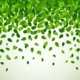 Fondo de la naturaleza con las hojas verdes frescas Imágenes de archivo libres de regalías