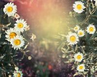 Fondo de la naturaleza de Dasies con luz del sol Fotos de archivo libres de regalías