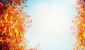 Fondo de la naturaleza del otoño con las hojas coloridas del follaje, del rojo y del amarillo de árboles en el fondo del cielo az Imagen de archivo