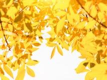 Fondo de la naturaleza del otoño con las hojas de oro en día soleado Foto de archivo